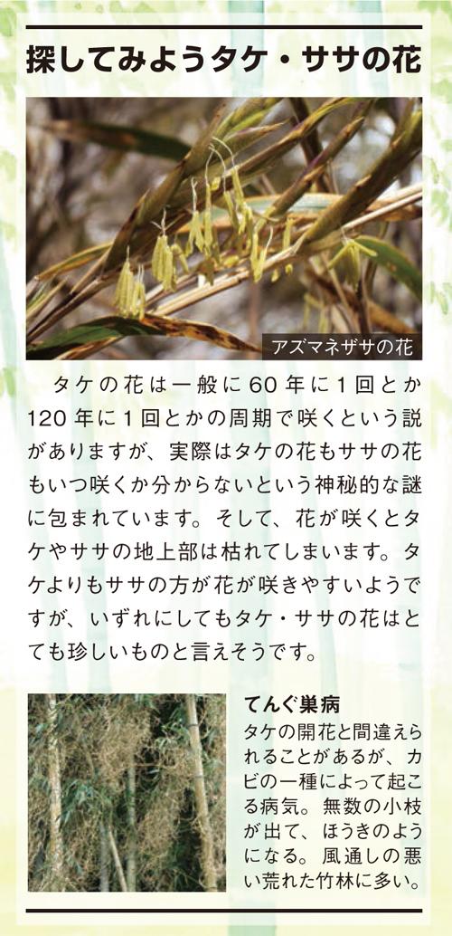 探してみようタケ・ササの花:タケの花は一般に60年に1回とか120年に1回とかの周期で咲くという説がありますが、実際はタケの花もササの花もいつ咲くか分からないという神秘的な謎に包まれています。そして、花が咲くと...