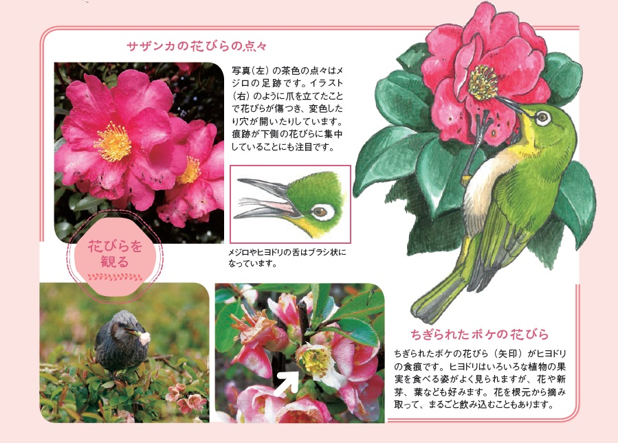 ちぎられたボケの花びら:ヒヨドリの食痕です。ヒヨドリはいろいろな植物の果実を食べる姿がよく見られますが、花や新芽、葉なども好みます..
