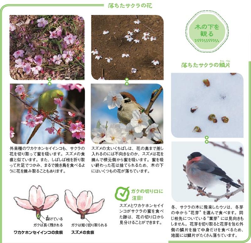 落ちたサクラの花:...蜜を吸い終わった花は捨てられるため、木の下にはいくつもの花が落ちています。