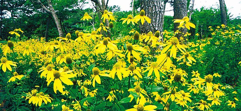 オオハンゴンソウの花