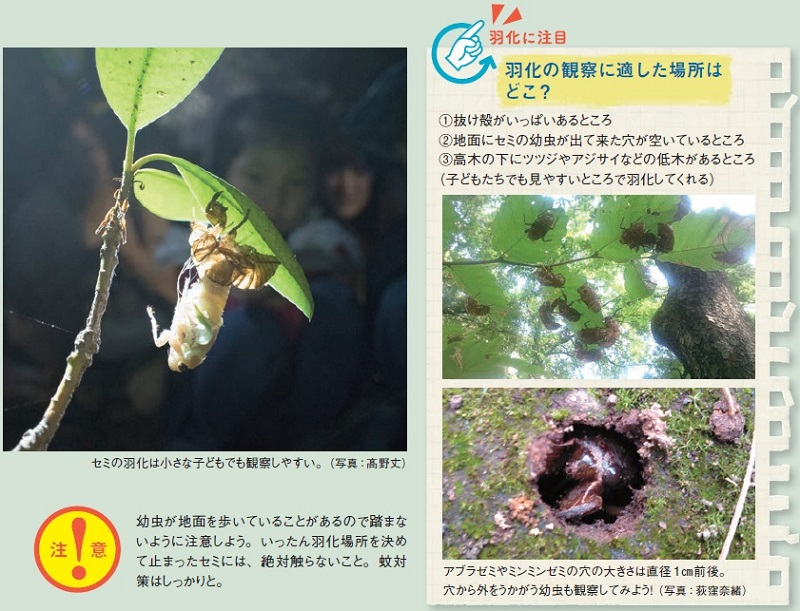 羽化の観察に適した場所はどこ?①抜け殻がいっぱいあるところ、②地面にセミの幼虫が出て来た穴が空いているところ、③高木の下にツツジやアジサイなどの低木があるところ