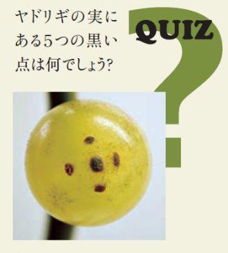 QUIZ:ヤドリギの実にある5つの黒い点は何でしょう?