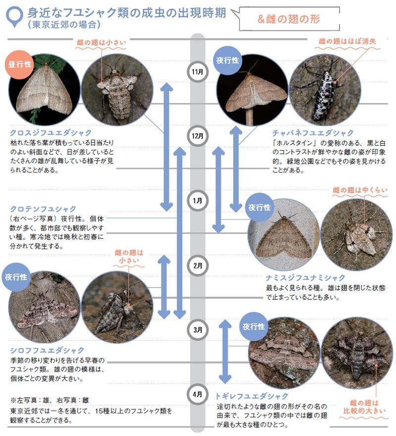 身近なフユシャク類の成虫の出現時期(&雌の翅の形):クロスジフユエダシャク、クロテンフユシャク、シロフフユエダシャク、チャバネフユエダシャク、ナミスジフユナミシャク、トギレフユエダシャク