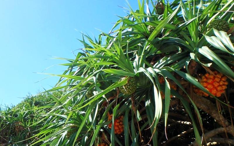 パイナップル栽培(写真)