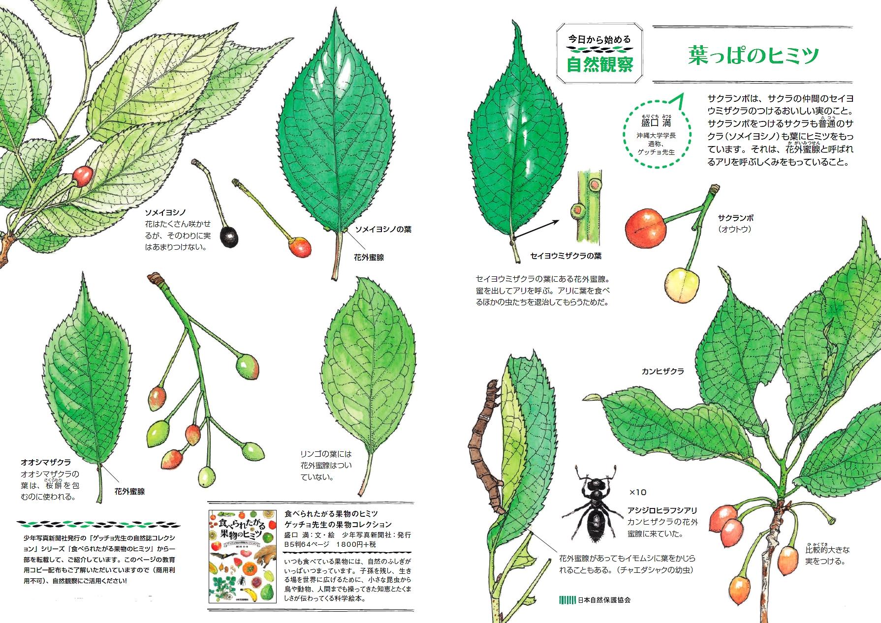 セイヨウザクラの葉、ソメイヨシノの葉など各種葉っぱの絵と説明