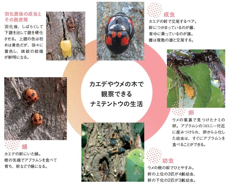 カエデやウメの木で観察できるナミテントウの生活