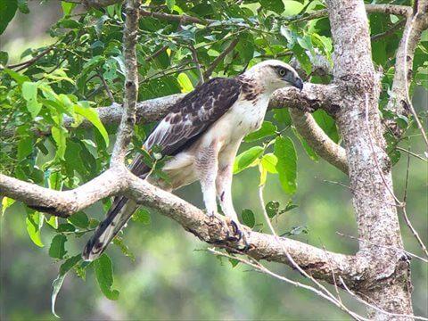 木の枝にとまっている白いフィリピンクマタカの写真