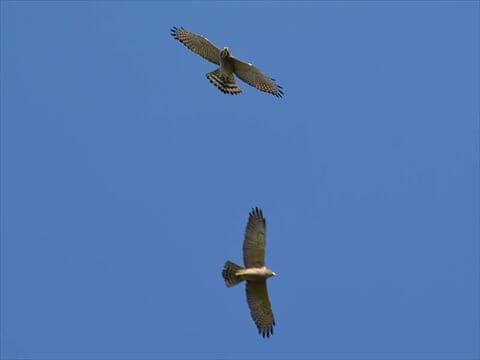 空に舞う2匹のサシバの写真(ズーム)