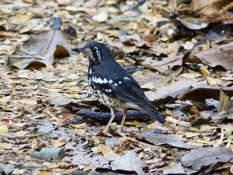 落ち葉の上にいる黒と白のクロボシジツグミ写真