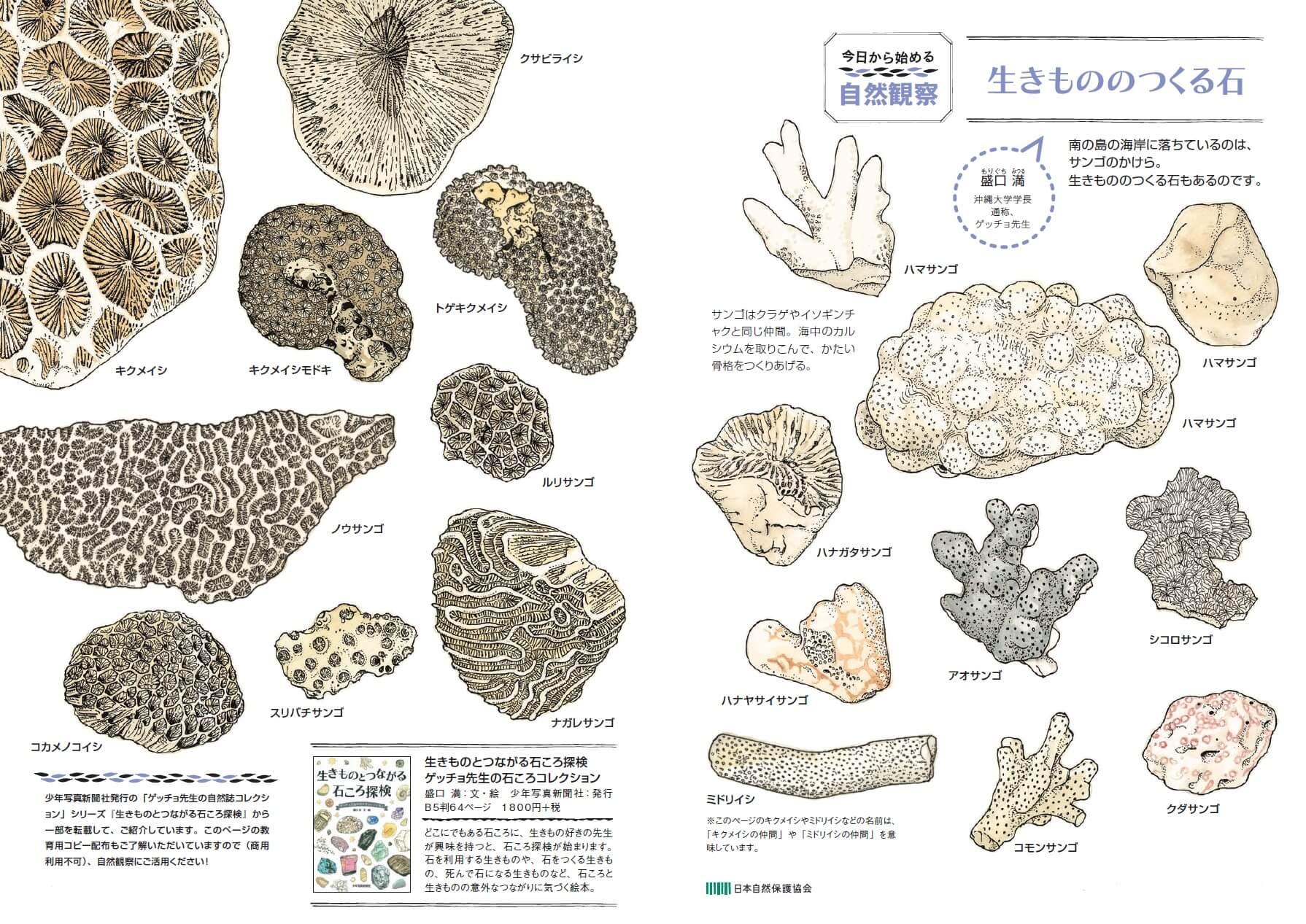 サンゴはクラゲやイソギンチャクと同じ仲間。海中のカルシウムを取りこんで、かたい骨格をつくりあげる。