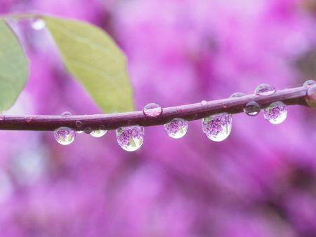 枝に付いた水滴に背景の紫の花が写った写真