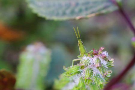 花びら越しに顔を出すショウリョウバッタ