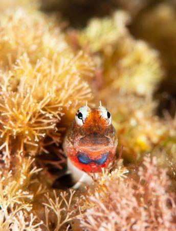 珊瑚の中から顔を出すヒナギンポの写真