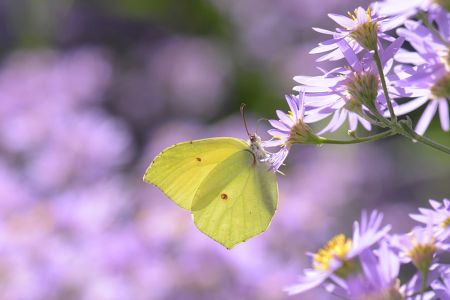 紫色の背景と黄色い蝶の写真