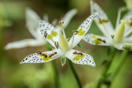 黄色の模様の付いた白い花びらに群がっている蟻の写真