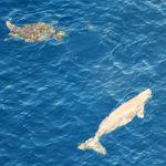 海カメとジュゴンが一緒に泳いでるの写真