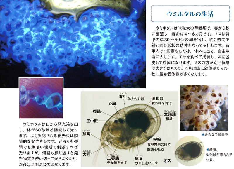 ウミホタルは米粒大の甲殻類で、春から秋に繁殖し、寿命は4~6カ月です。メスは背甲内に30~50個の卵を宿し、約2週間で親と同じ形状の幼体となってふ化します...。