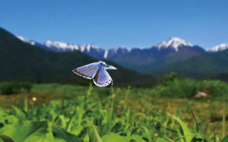 飛んでいるオオルリシジミの写真